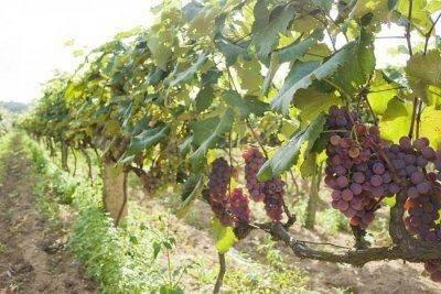 Виноград сорта «низина»