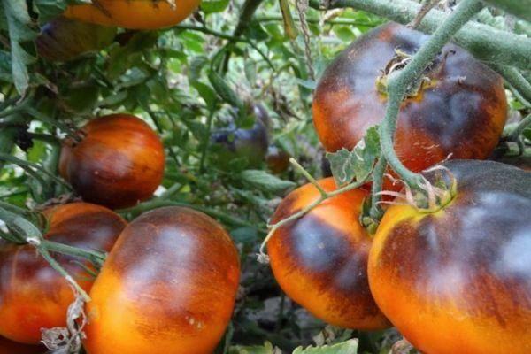 Томат дуся красная: характеристика и описание сорта, урожайность с фото