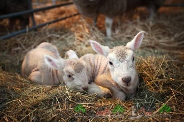 Беременность овец: как определить и сколько длится?