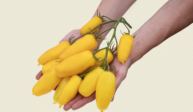 Томат банановые ноги: описание сорта, выращивание, фото
