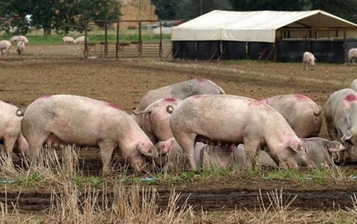 Порода свиней йоркшир — внешний вид и нюансы содержания для опытных фермеров