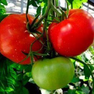 Томат рокер: характеристика и описание сорта, урожайность с фото