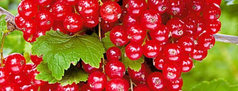 Особенности красной смородины уральская красавица