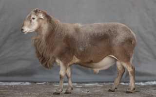 Мясная порода овец – катумы