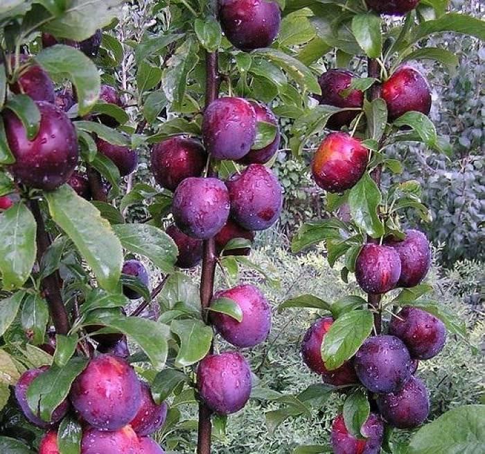 Алыча путешественница — зимостойкий урожайный сорт