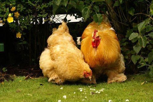Куры с шикарными перьями и добродушным нравом — порода карликовый кохинхин