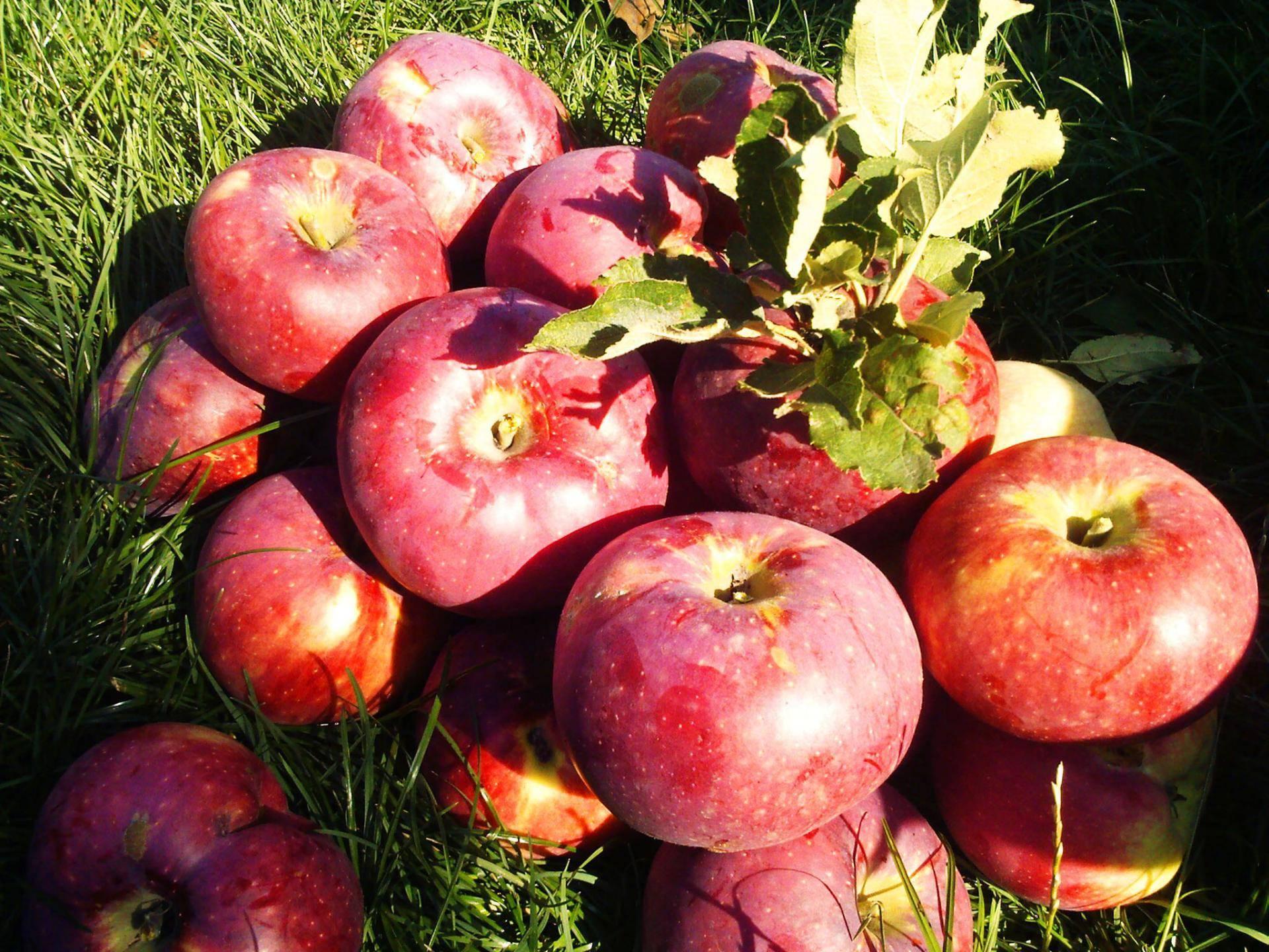 Яблоня апорт: преимущества сорта и правила выращивания в саду