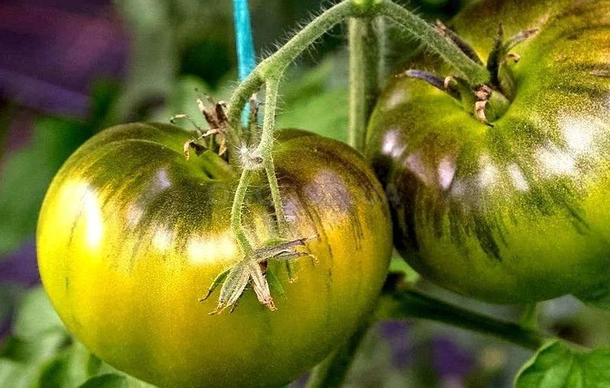 Томат мармеладный: характеристика и описание сорта, урожайность с фото