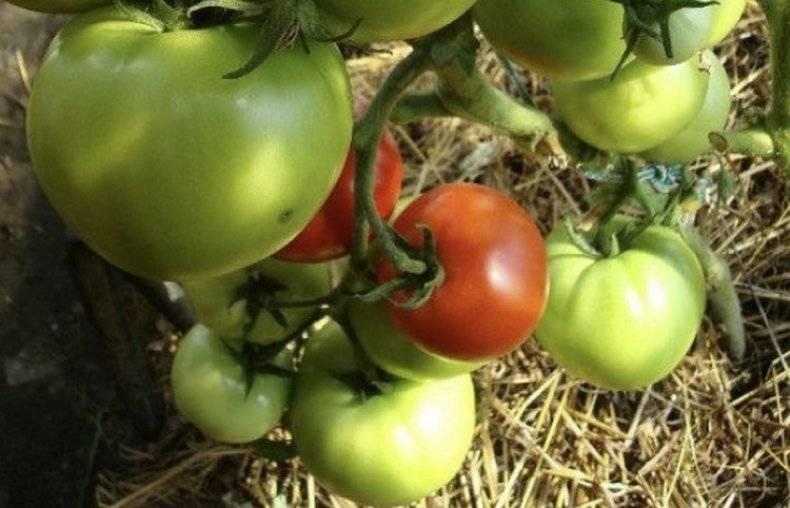 Новый гибрид «любовь»: схема посадки и особенности ухода для получения хорошего урожая