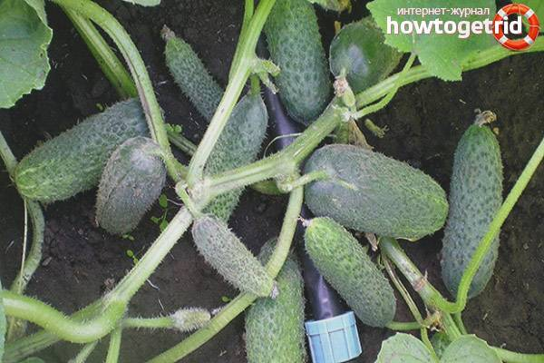 Огурцы «бабушкин внучок f1»: выращивание и уход