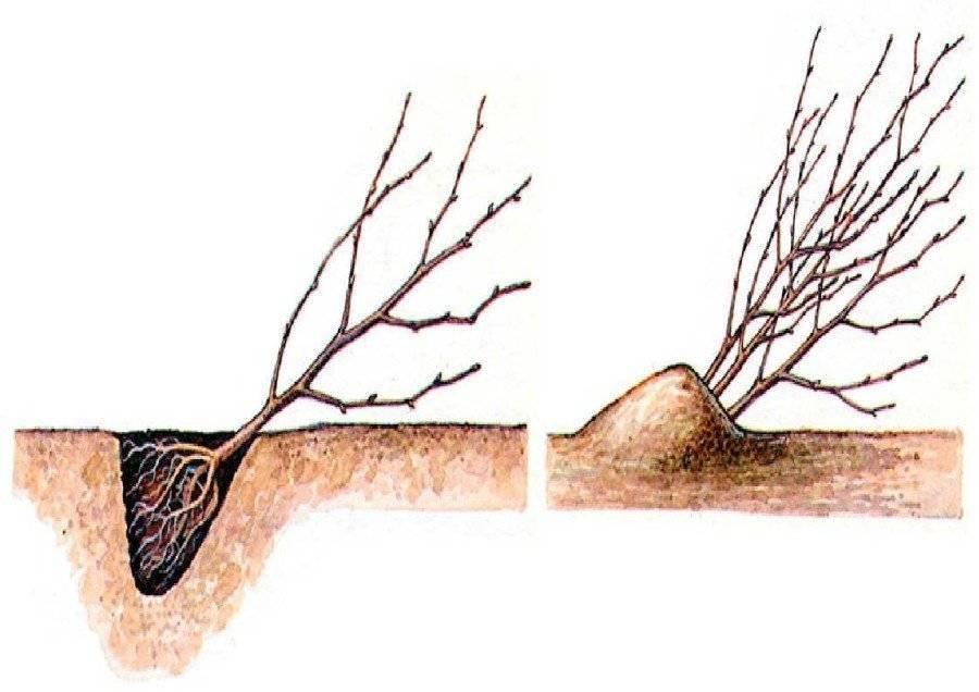 Как правильно посадить смородину осенью и весной