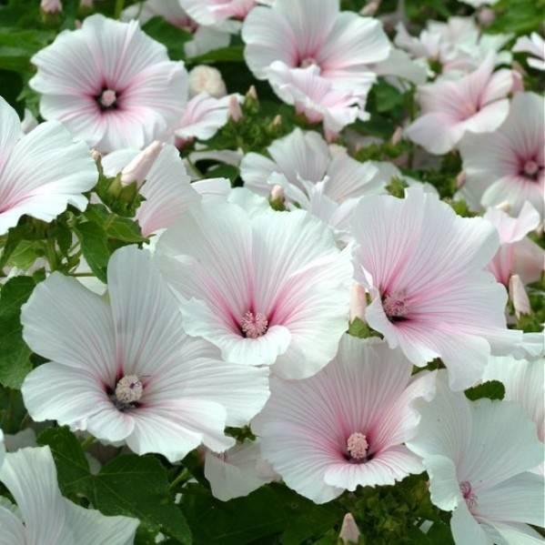 Как вырастить лаватеру из семян  — советы и рекомендации
