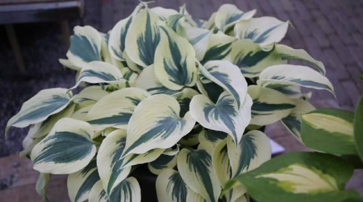 Золотарник, или солидаго — лечебный цветок из канады