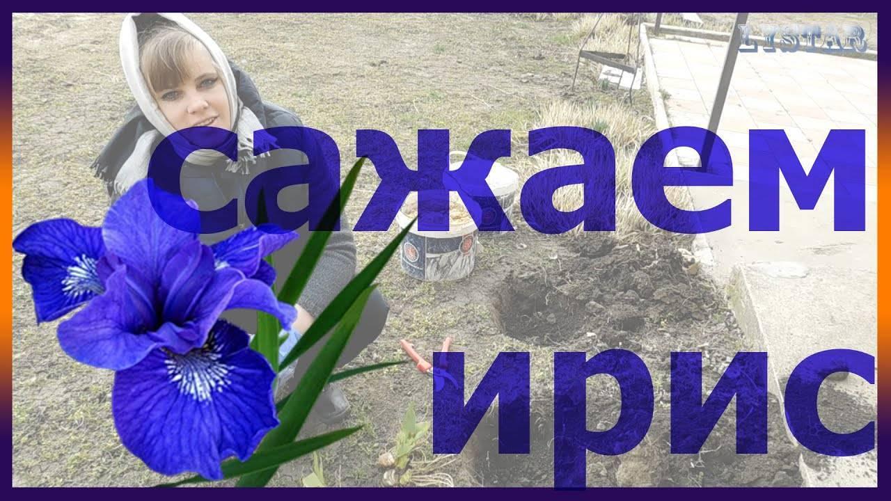 Как вырастить ирисы из семян