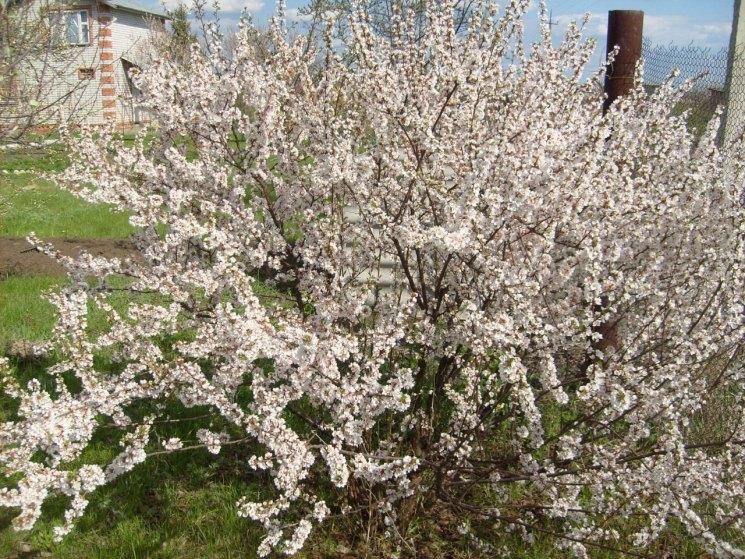 Вишня войлочная: описание, полезные свойства, уход и выращивание