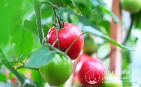 Томат розовая стелла характеристика и описание сорта урожайность с фото