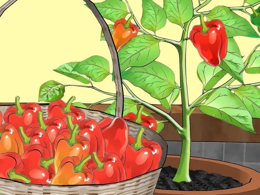 Выращивание перца хабанеро в домашних условиях и в открытом грунте