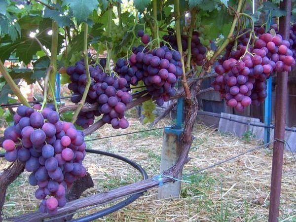 Виноград заря несветая: фото и описание сорта
