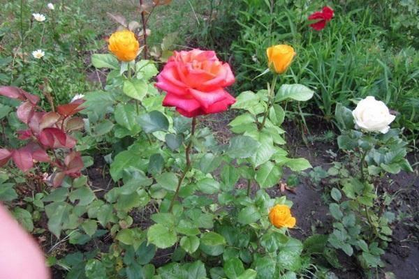 Прекрасные розы керио: описание и фото сорта, цветение и использование в ландшафтном дизайне, уход и другие нюансы
