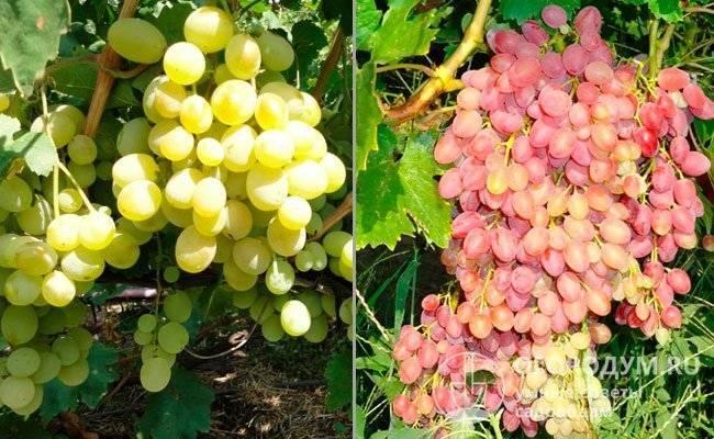 Описание винограда сорта низина, посадка и уход в открытом грунте