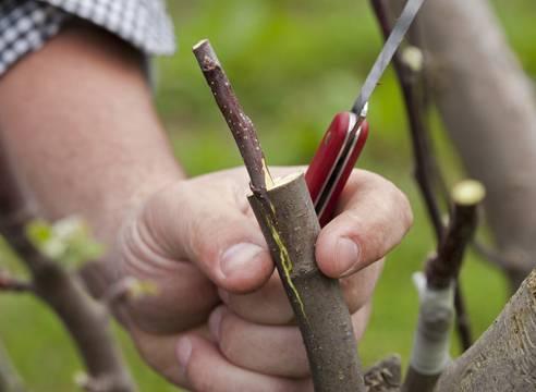 5 методов привить абрикос летом и получить нужный сорт