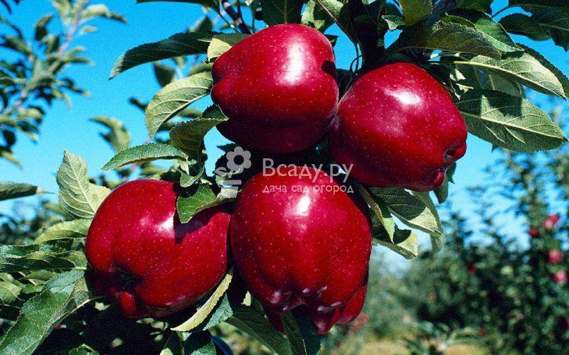 Старорусская зимняя яблоня снежный кальвиль