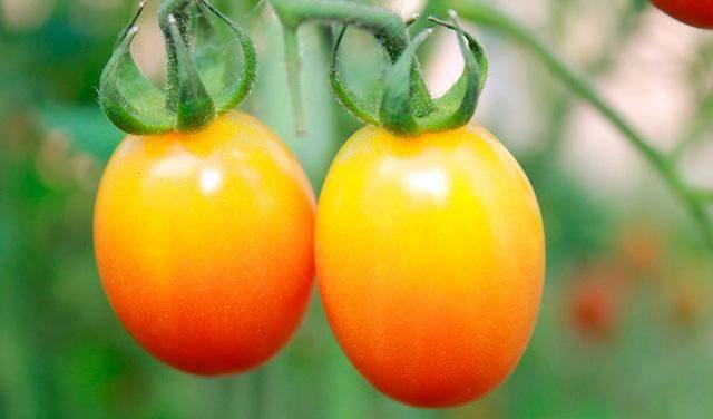 Описание и характеристики сорта томата золотые яйца