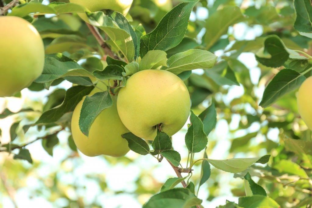 Мелкоплодная яблоня алтайское багряное