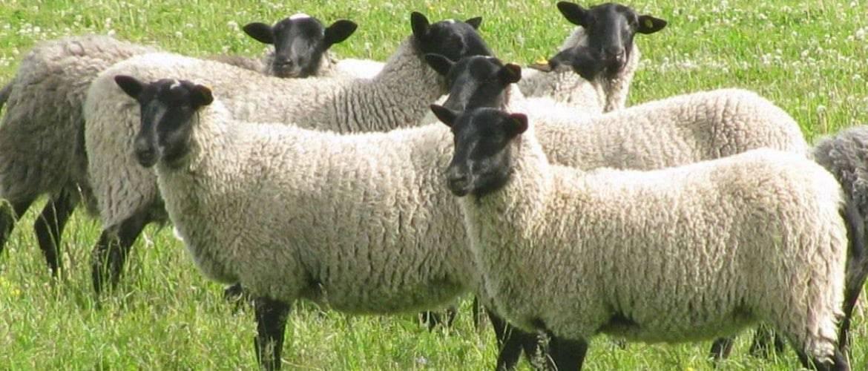 В каком возрасте стригут овец. когда и зачем стригут баранов и овец