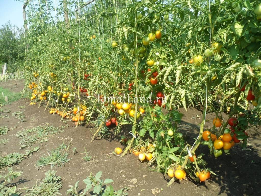 Неприхотливый, но очень вкусный сорт томатов «чудо рынка» с богатым урожаем — любимец опытных огородников