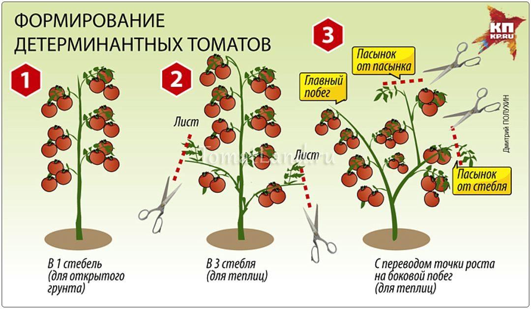 Характеристика и описание сорта томата Верлиока, его урожайность и выращивание