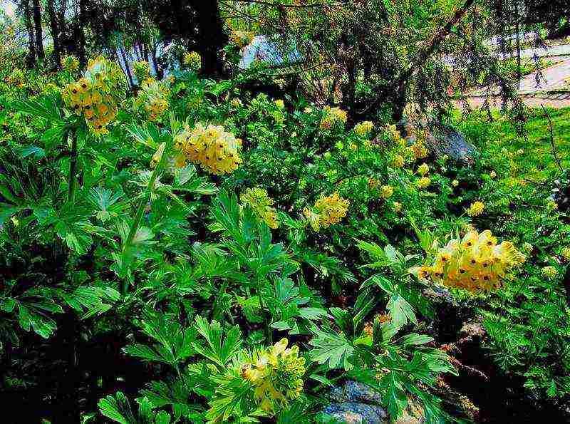 Тубероза: посадка и уход в открытом грунте, особенности выращивания