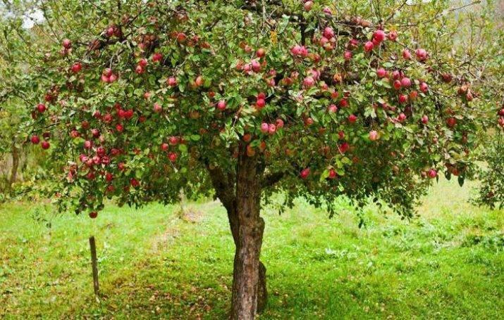 Как заделать дупло в яблоне: причины и что делать, чем лучше замазать