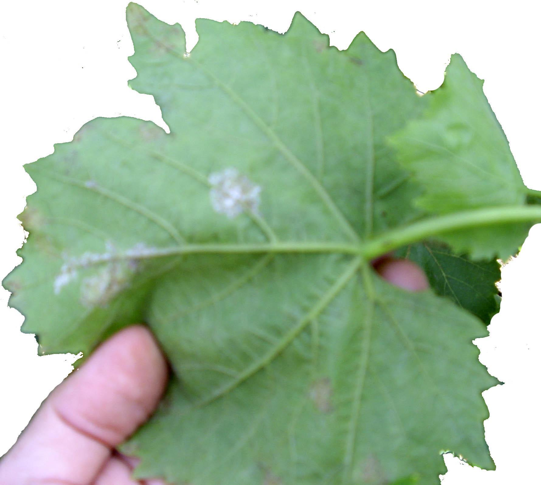 Какие болезни листьев бывают у винограда: признаки, описание с фото, лечение