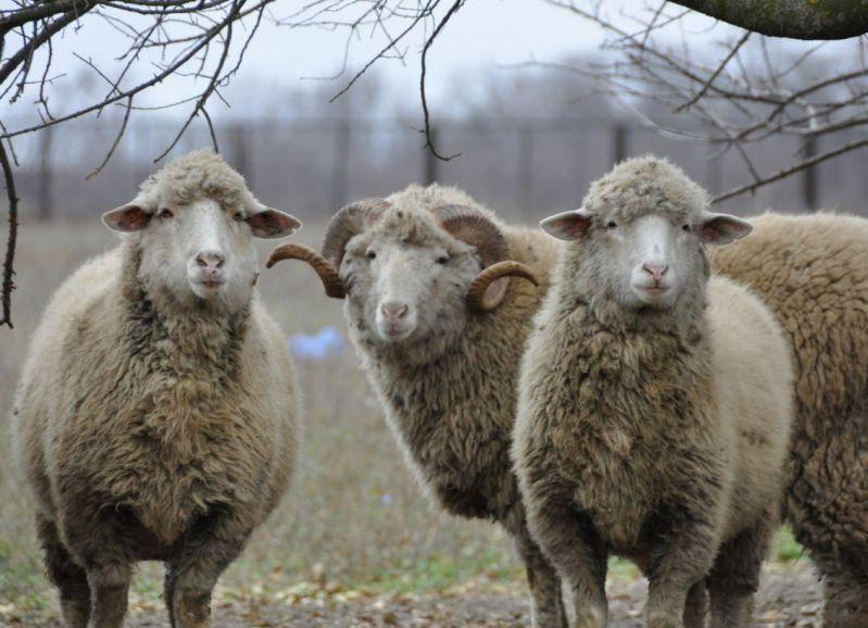 Особенности овцеводства в разных регионах россии и мире в 2020 году