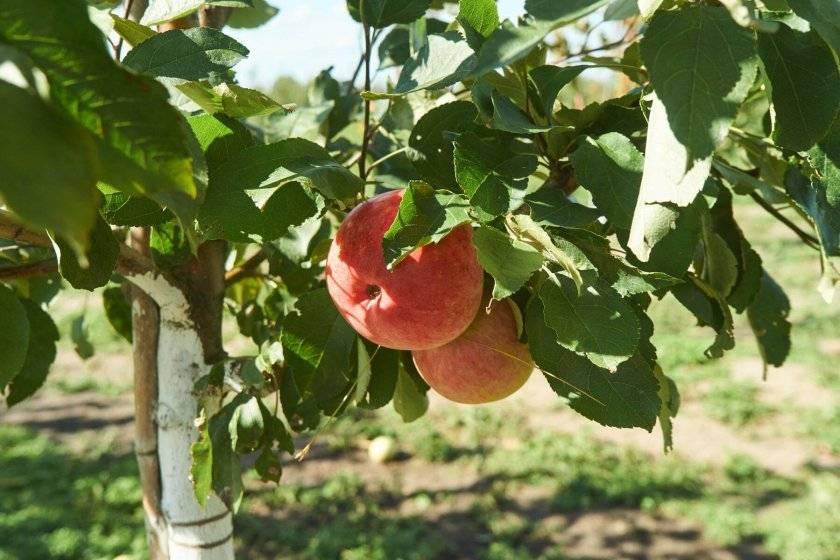 Преимущества и недостатки, характеристики и описание сорта яблони Красная горка