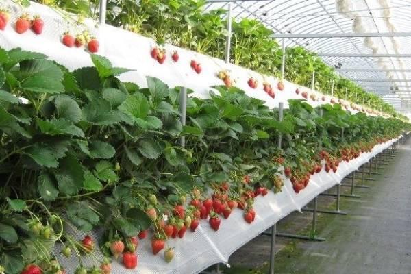 Выращивание клубники в домашних условиях круглый год: сорта и методы