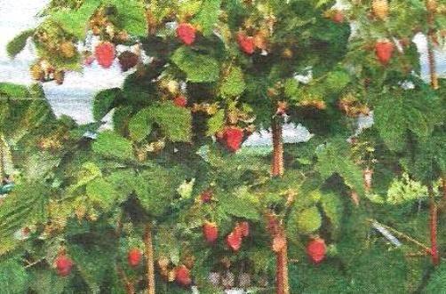 Как правильно посадить малину осенью: пошаговые инструкции