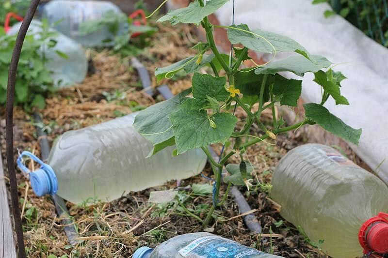 Капельный полив из пластиковых бутылок без затрат