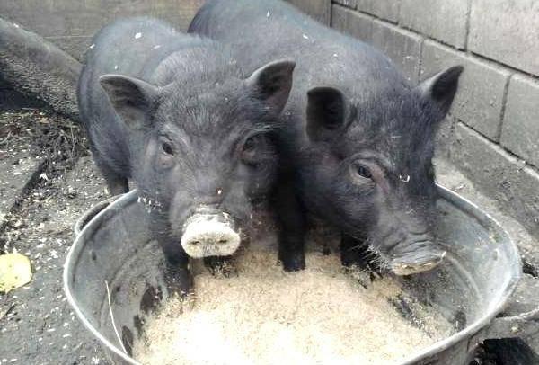 Чем кормят вьетнамских поросят в домашних условиях, чтобы было больше мяса