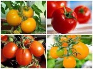 Обзор лучших сортов помидоров для теплиц в подмосковье