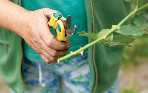 Как укоренить черенки однолетних цветов: 5 важных условий и проверенная технология черенкования