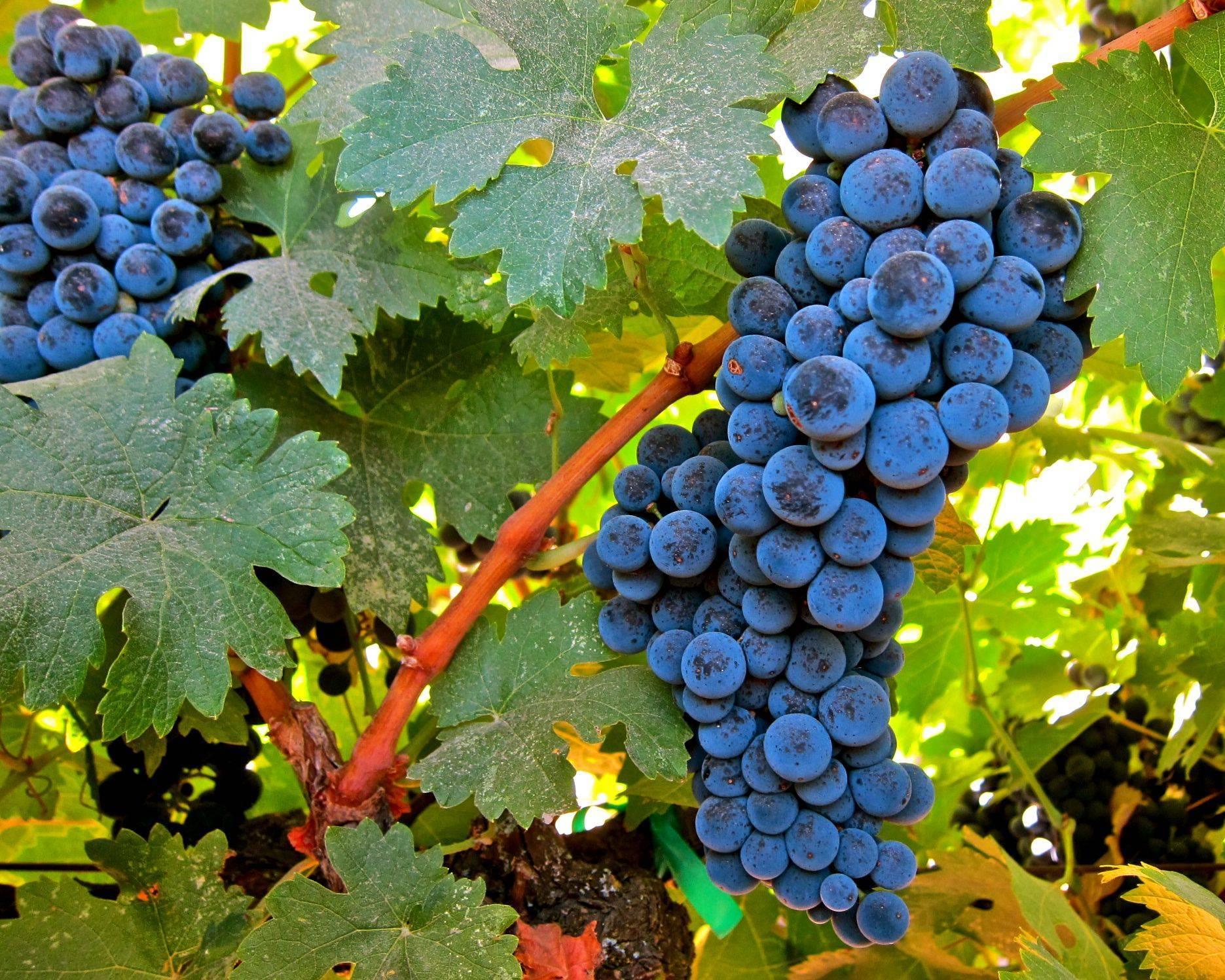 Виноград розмус: описание сорта и характеристики, правила посадки и ухода