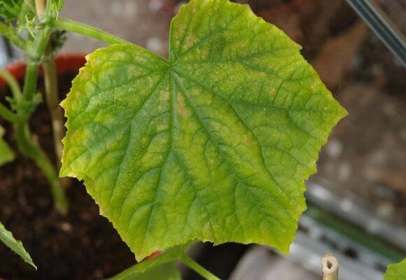 Почему желтеют листья у рассады огурцов