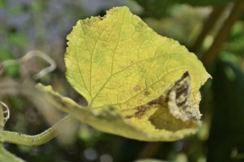 Желтеют и сохнут листья у огурцов на подоконнике: причины, чем обрабатывать