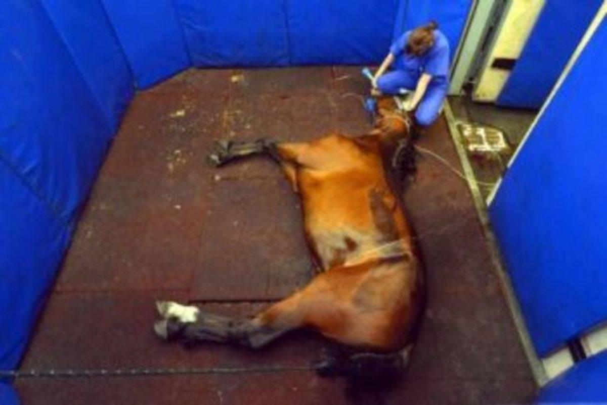 Болезнь сап у лошадей: причины, симптомы, диагностика и лечение
