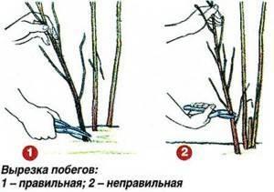 Ремонтантная малина: посадка и уход, подкормка и обрезка