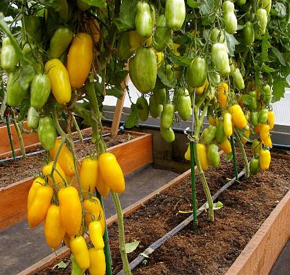 Суперпопулярный томат банановые ноги. детальное описание, отзывы и рекомендации по выращиванию