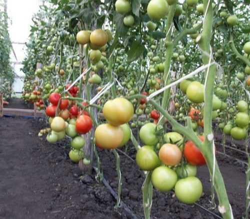 Помидор «исполин» — крупноплодный сорт