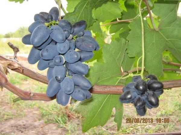 Виноград ланселот: описание сорта, фото и отзывы садоводов